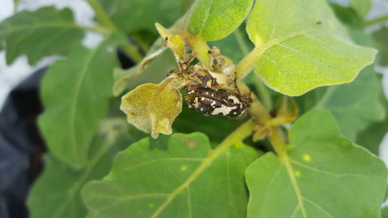 seedling blight of castor